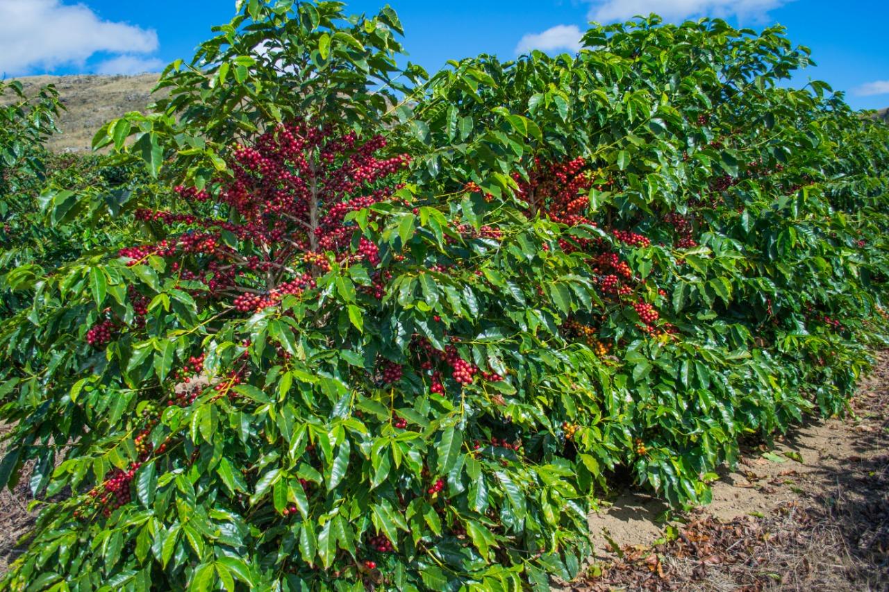 Krzew kawowca u Pedro Brasa